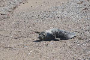 Le phoque sur la plage de Gattemare